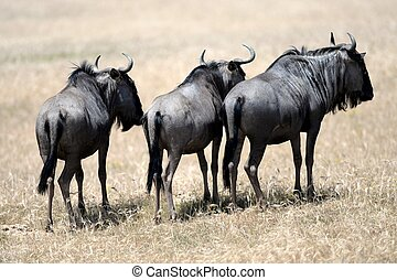 Wildebeest - A shot of a African Wildebeest in the wild