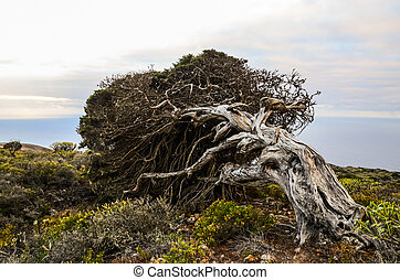 Gnarled Juniper Tree Shaped By The Wind at El Sabinar,...