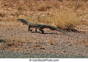 Perentie - Varanus Giganteus - Big goanna from australia