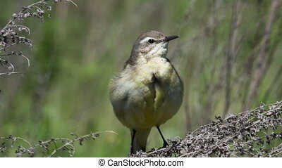 Yellow wagtail - female Yellow wagtail (Wagtail Motacilla...