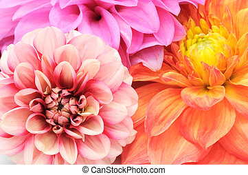 Beautiful Multicolored Dahlias Cloes-up - Beautiful...