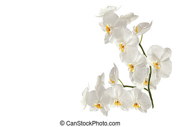 Branch orchid on white background