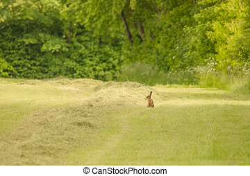 Cute little hare on a grass field - High resolution photo in...