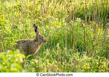 Wild hare in a green garden - High resolution photo in best...