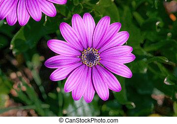 Purple Osteospermum flowerhead in a garden