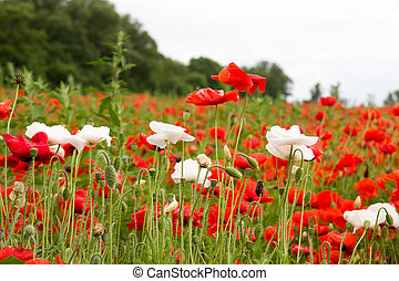 Colorful summer field with red poppies and white flowers