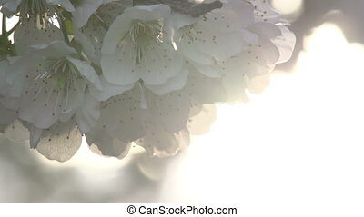Gentle Flowers - Cherry flowers close up in bright sunlight....