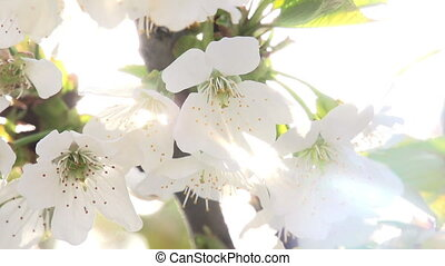Solar Flowers - Bright Cherry flowers close up in bright...