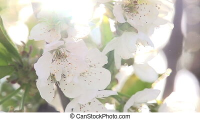 Sunny Flowers - Bright Cherry flowers close up in bright...