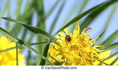 Sunshine After the Rain - Ladybug sits on a yellow dandelion...
