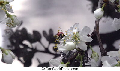 Flowering Branch Above Wate - Blossoming cherry branch bent...