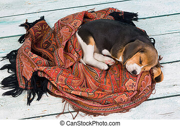 Sleeping puppy - Tired little seven weeks old beagle puppy...