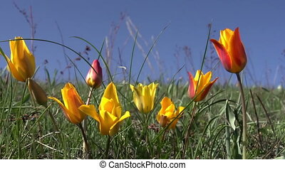Wild Steppe Tulip - Wild rare species tulip in the desert