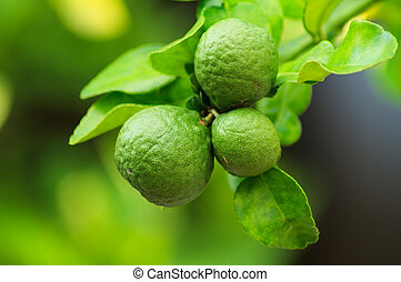 Bergamot in food farm garden