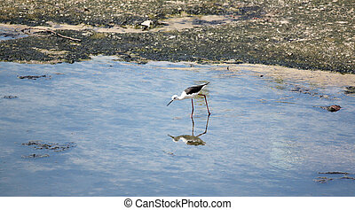 Black-winged Stilt (Himantopus himantopus). - Black-winged...
