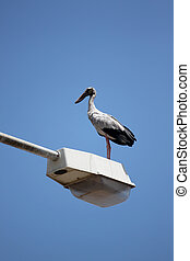 big stork standing on top electricity post. - big stork...