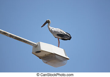 big stork standing on top electricity post - big stork...