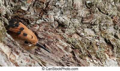 Eurasian hoopoe Upupa epops bird give food to young