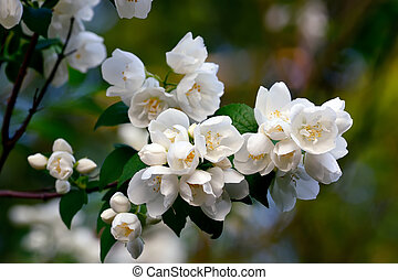 Flowered mock-orange (Philadelphus) closeup - Beautiful...