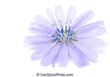 Chicory Flower - A close-up of a light purple chicory flower...