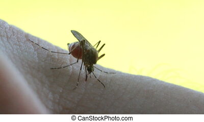 Bloodsucking Mosquito on hand with black background