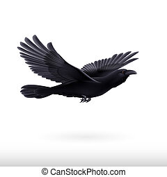 Black raven - Black crow precipitously flying on the white...