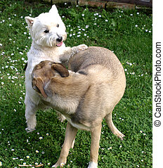 dogs - two dogs in a friendly game
