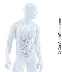 Human body with internal organs. 3d illustration. Isolated....