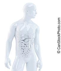 humano, cuerpo, interno, Órganos, 3D,...