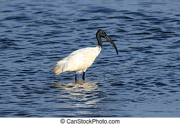 Black-headed Ibis Threskiornis Melanocephalus – aka...