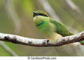 Green Bee-eater (Merops Orientalis) on a Branch, Bundala...