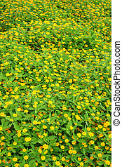 Singapore dailsy - yellow flowers