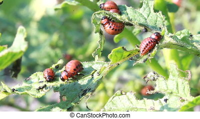 Colorado beetle larvae - Colorado potato beetle larvae,...