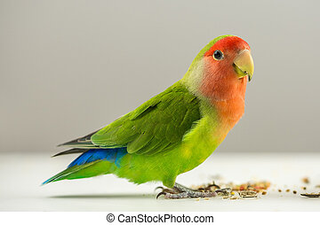 Colorful agapornis - Beautiful colorful agapornis bird on...