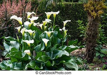 White Calla Lily plant in bloom - White Calla Lily plant in...