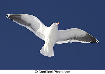 Dominican gull soaring over the Antarctic islands sunny winter d