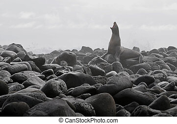 Lonely Galapagos sea-lion