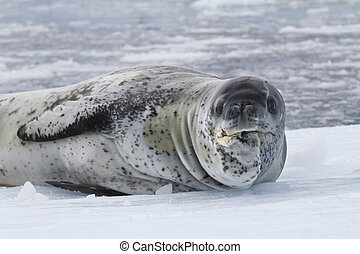 old male leopard sea resting on the ice of Antarctica