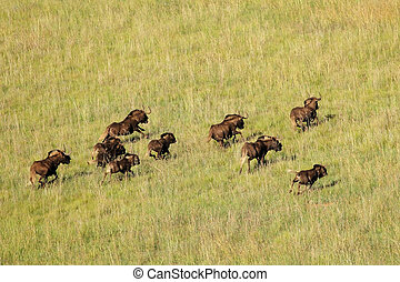 Black wildebeest running - Aerial view of black wildebeest...
