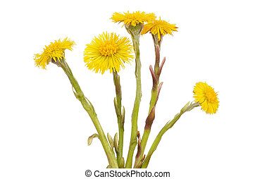 Tussilago farfara flowers isolated on white background