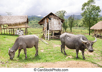 Water buffalo in country field of northern thailand