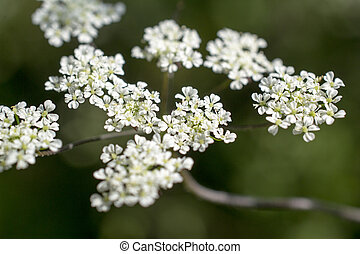 Flowers of cow parsley in St Geertruid, Netherlands