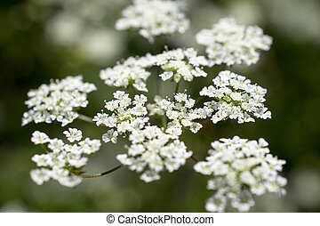 Flowers of cow parsley. - Flowers of cow parsley in St....
