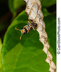 Wasp builds a nest