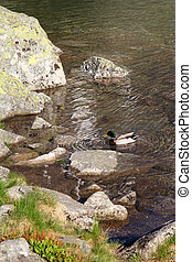 male duck in mountain pond