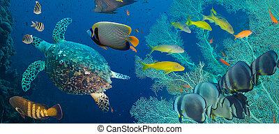 Hawksbill sea turtle Eretmochelys imbricata in blue water