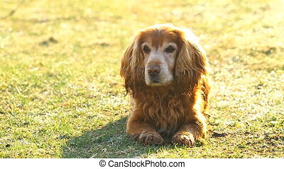 Cocker Spaniel on a green meadow