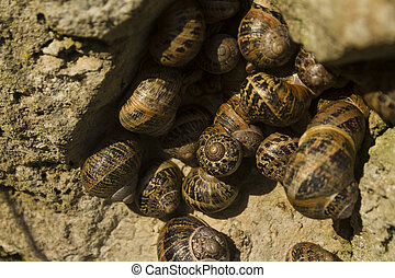 Garden snails, helix aspersa, group nestling in a rock,...