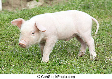 pig  - Young pig on a spring green grass