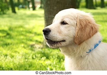 Pet. Cute golden retriever puppy barks.
